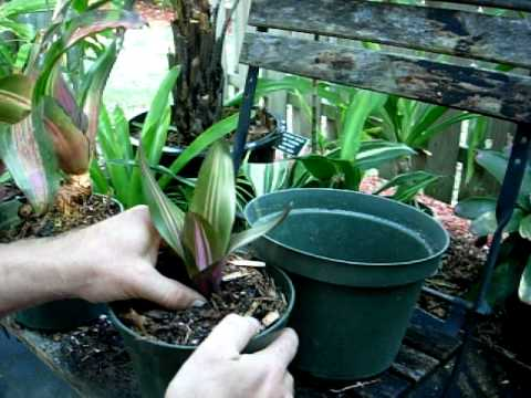 Removing a bromeliad pup and potting it up