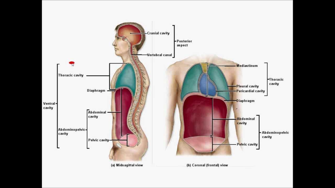 Body Cavities and Abdominopelvic regions by Prof Knoppy