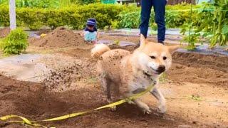 私に任せて!畑仕事を全力お手伝いする柴犬【豆柴すず】shiba inu