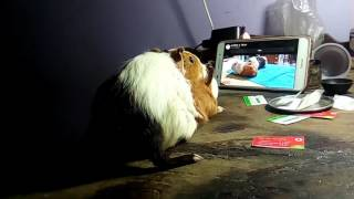 Guinea pig sex video 2017 reproduction