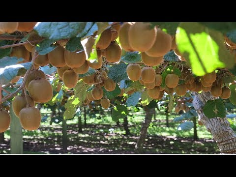 Agriculture Technology - KIWI Cultivation