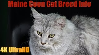 All About the Maine Coon Cat Breed