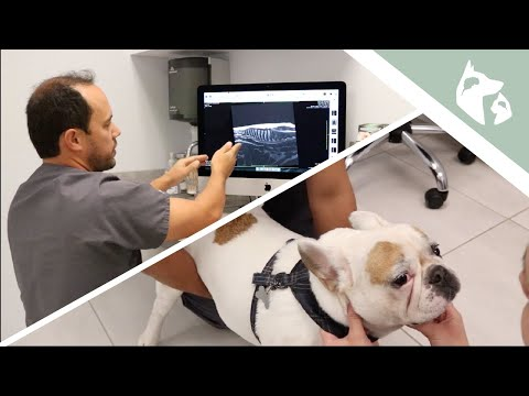 French Bulldog With Weakness In The Back Legs    Vlog 18