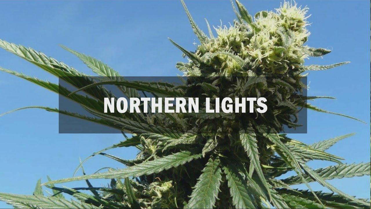 Купить семена конопли Northern Light Victory Seeds, наложенный платеж