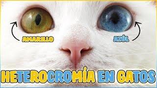 Por Qué Hay Gatos Con Los Ojos De 2 Colores Todo Sobre La Heterocromía En Gatos Youtube