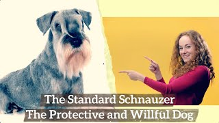 Standard Schnauzer – The Protective and Willful Dog