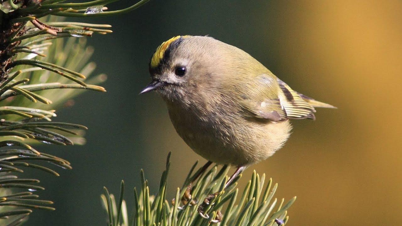 M sanges roitelet troglodyte accenteur oiseaux dans mon jardin hd n 2 youtube - Chants oiseaux des jardins ...