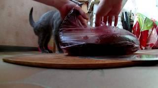 Знакомство кота с огромной рыбой (Котенок кушает сырую рыбу)