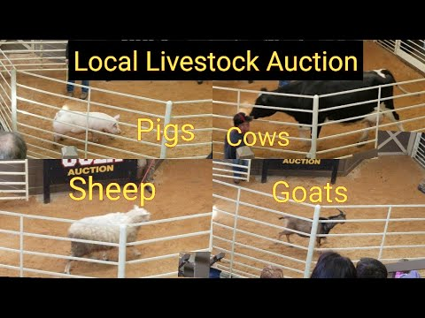Local Livestock Auction | Cows | Sheep | Goats | Pigs