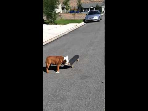 English Bulldog on skateboard