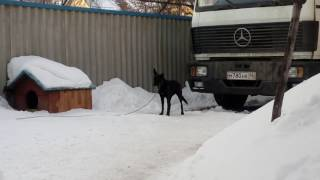 Собака не хочет сидеть на цепи