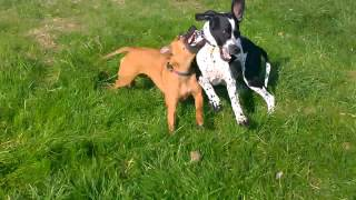 Ferocious Staffordshire Bull Terrier Violently Savages An English Pointer