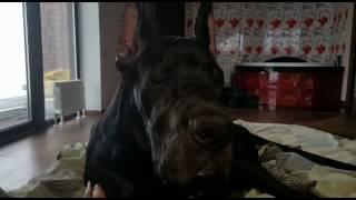 Тайрон (внук Волхова и Легенды Ливии) 5,5 мес