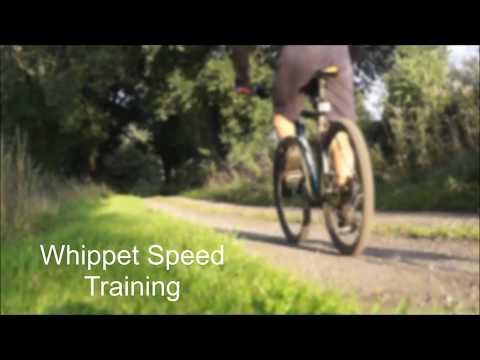 Whippet Speed Training