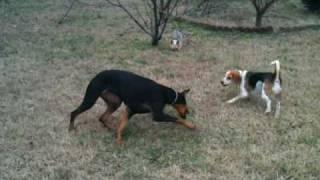 Doberman, Yorkie, Beagle Playing