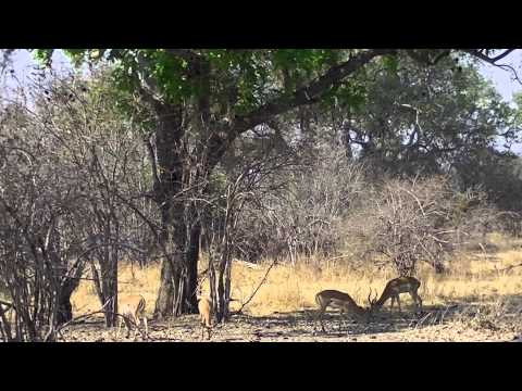 Unbelievable Leopard Kill Norman Carr Safari Zambia 2014