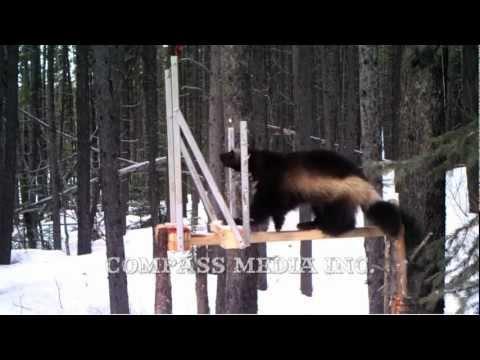 Wolverine Trail Camera Footage