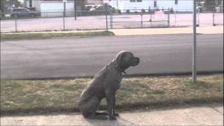 "Long Island Dog Training,""cane Corso"" Testimonial"