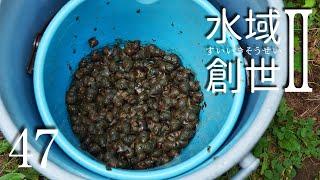 タニシ250匹投入! アオミドロ対策 水域創世Ⅱ- 47【4K】