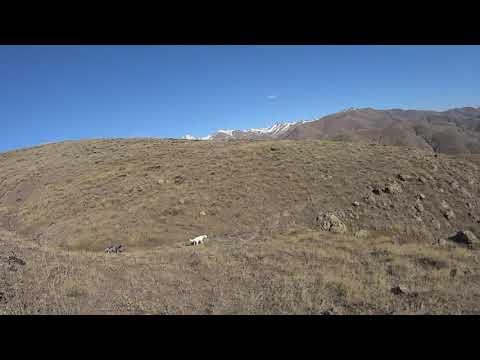 KEKLİK AVI  Trabzon CARMEN (Patridge hunt)