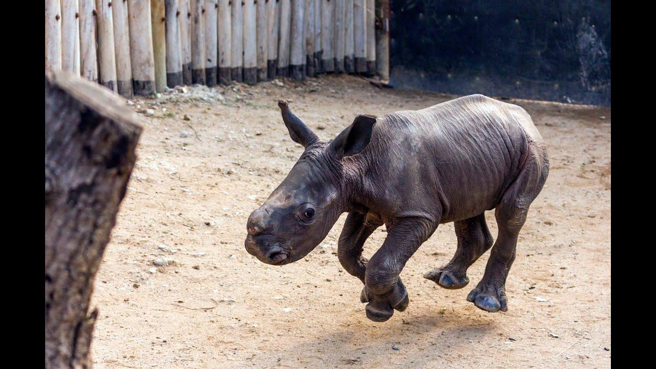 Walking baby rhino Warren - He knows his name! - YouTube Rhinoceros Baby