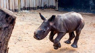 Walking baby rhino Warren - He knows his name!