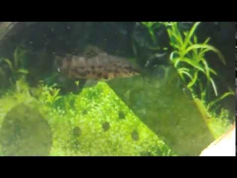 *THE LARGE SPOTTED PLECO* Plecostomus / Catfish / Algae eaters - Sugemaller i akvariet from YouTube · High Definition · Duration:  34 seconds  · 1,000+ views · uploaded on 1/14/2016 · uploaded by AllanNielsenFyn