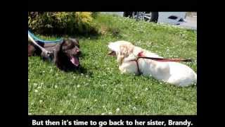 Stella And Brandy, 10- To 11-year-old Yellow Lab Sisters Rescued In Manahawkin, Nj