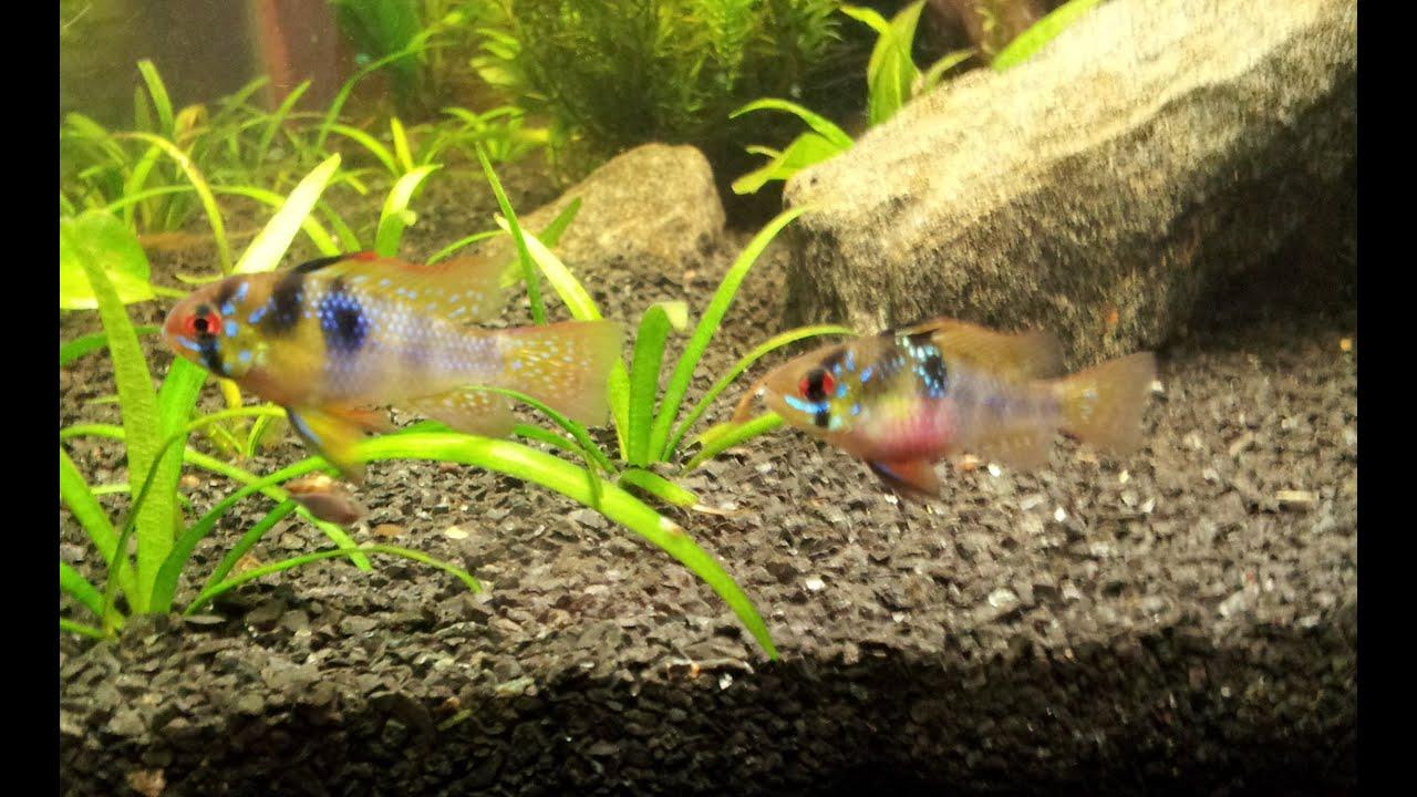 Dwarf Gourami Vs German Blue Rams Not Seeing Eye To Eye
