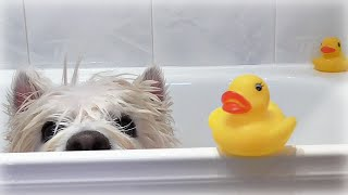 Romeo's Bath Time! ~ Westie · Senior · Dog · Pet · Cute · Funny · Happy · Bathing · Shower