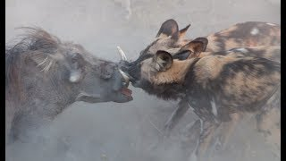 Wild dogs attack warthogs - Animal attacks - Warthogs VS wild dogs
