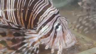 ミノカサゴを良く見てみる!魚観察