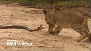 Epic & Funny Lion Hunt Fails
