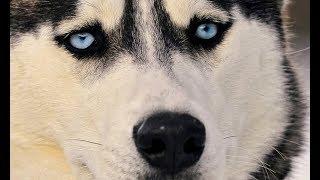 Интересные факты о собаках, которые удивляют. Что обнаружили учёные в ДНК собаки. Док. фильм.