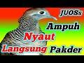 Langsung Ampuh Suara Perkutut Lokal Alam Jos Untuk Pancingan  Mp3 - Mp4 Download