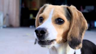 Cute Beagle Puppy Barking Pocket Tri-colored Miniature Beagles Funny Video Picture