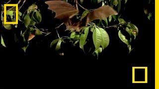 Vampire Bat vs Wrinkle Bat