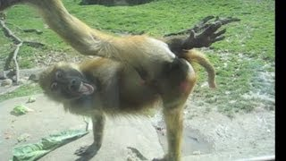 Repeat youtube video Awesome Monkey Compilation