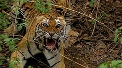 Getting Too Close to a Wild Tiger   Deadly 60   Earth Unplugged