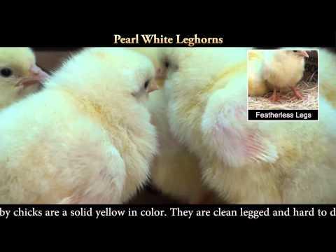 Pearl White Leghorn Chicks