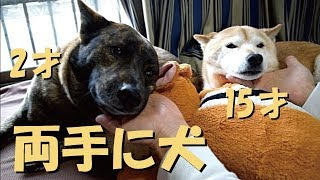 もうすぐ3歳になる甲斐犬ハルヱと15歳柴犬エミー。年齢も性格も身体能...