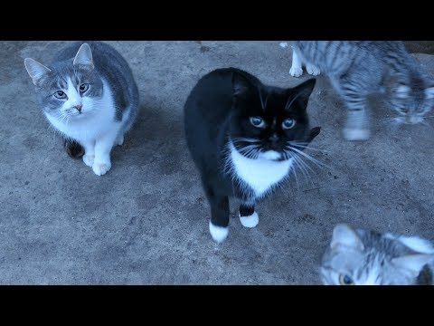 Five cats meow because they want food