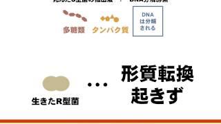 遺伝子の正体(肺炎双球菌の形質転換,T2ファージの増殖の研究)(ゆうきのバイオロジー)