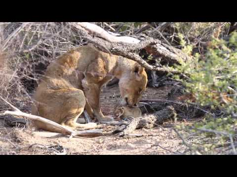 Ross Breakaway Lioness & Newborn Cub