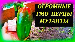 ПЕРЦЫ мутанты выросли огромные и продолжают расти. Как выращивать перец из свежих семян в теплице.