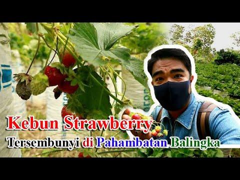 Kebun Strawberry Balingka