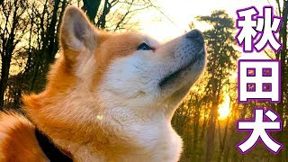 AKITA INU  5 Years Of Loyalty | A Birthday Story | 秋田犬