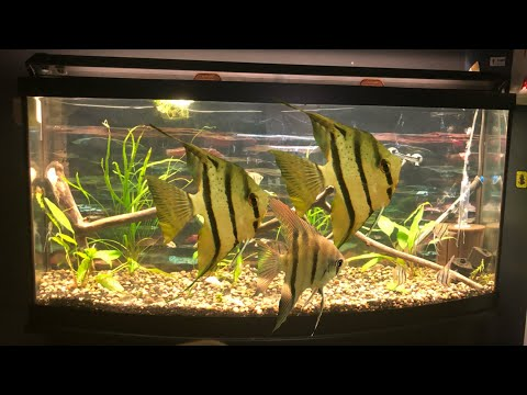 MOVING WILD ANGELFISH!!
