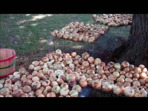 Planting Onions For Maximum Size and Sweetness