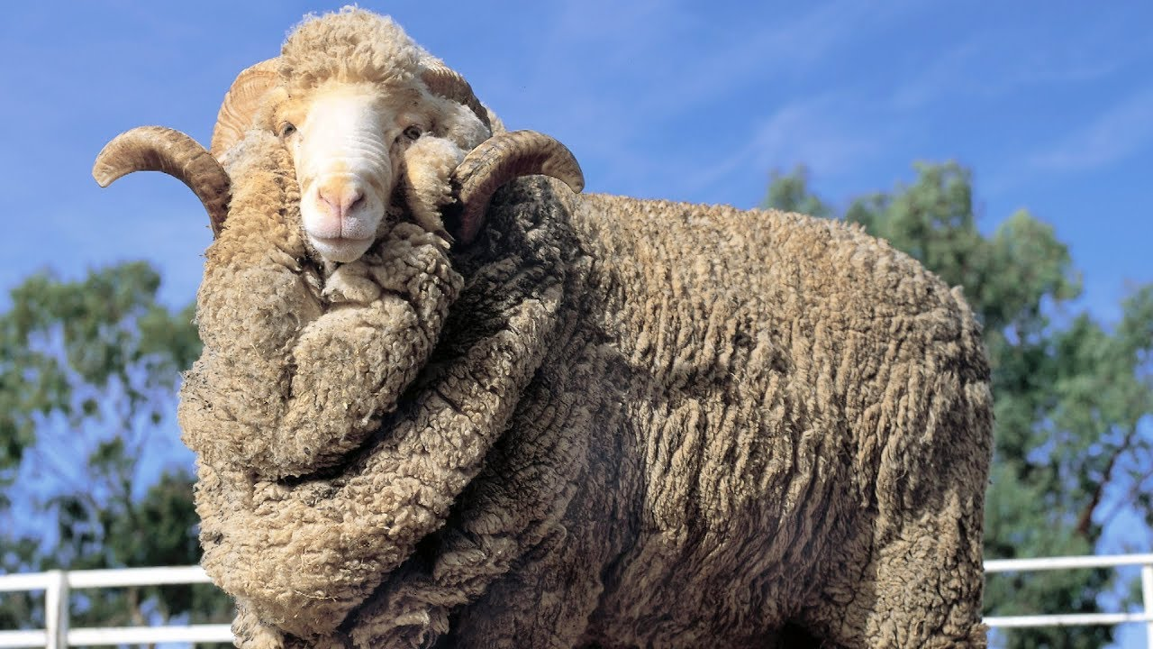 Download Merino Sheep | Epic Wool Producers